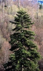 Cel mai mare pom din europa
